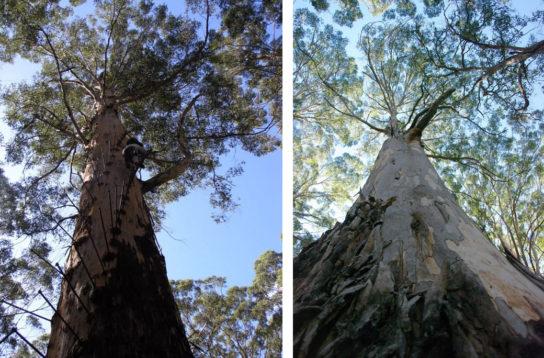 дерево карри - фото 4