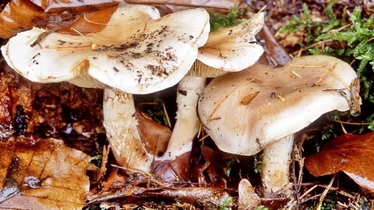 описание грибов с фотографиями говорушки элементов оборудования