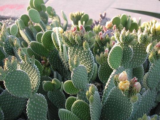 опунциевые кактусы