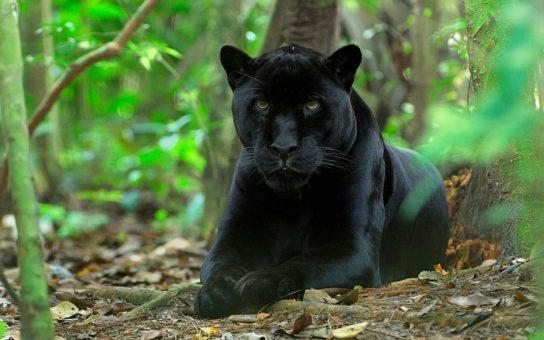 черная пантера - фотография