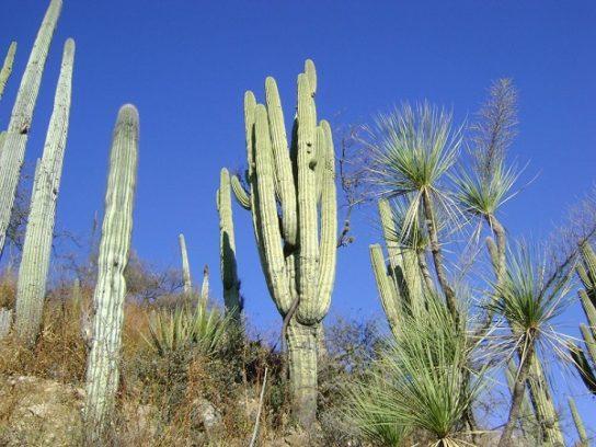 Перескиевые кактусы
