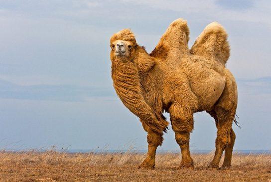 двугорбый верблюд - картинка