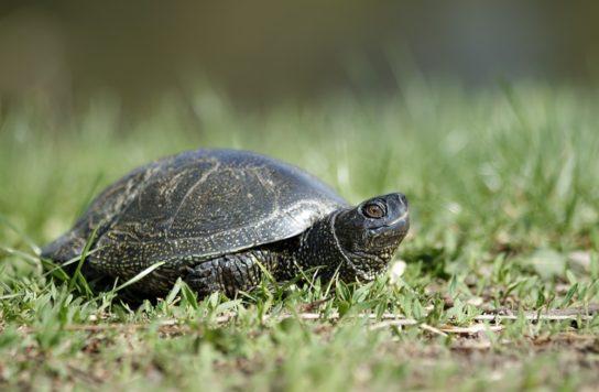 фото болотной черепахи