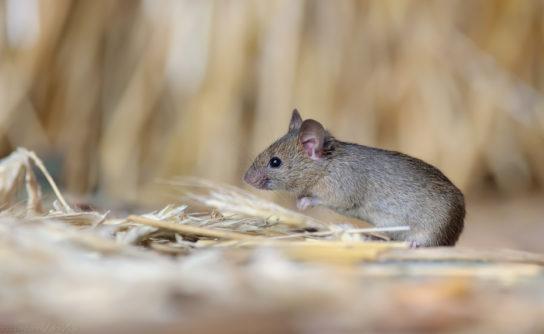 чем питаются мыши - фото 5