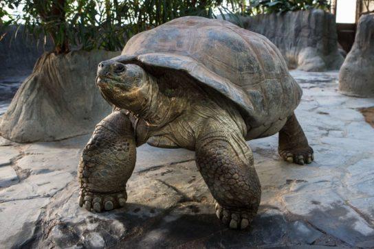 галапагосская черепаха (слоновая черепаха) - фото