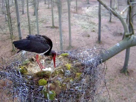 гнездо черного аиста