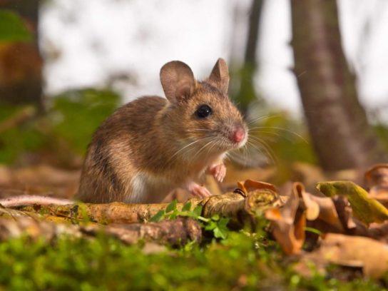 чем питаются мыши - фото 4