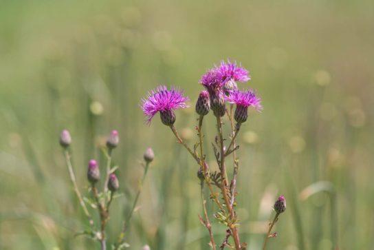 Виды полевых цветов фото и названия