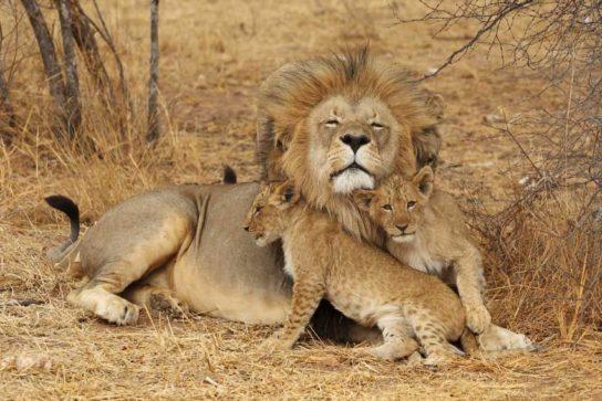 Африканский лев и детеныши