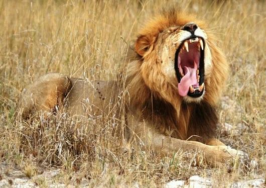образ жизни африканского льва