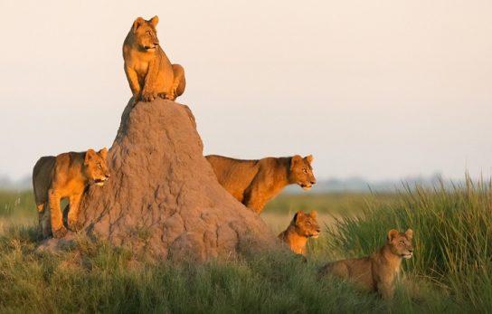 описание африканского льва
