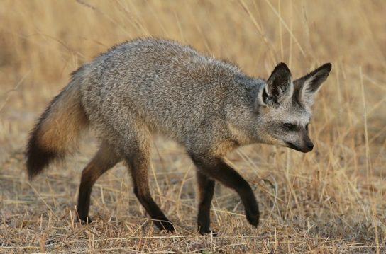 фото большеухой лисицы