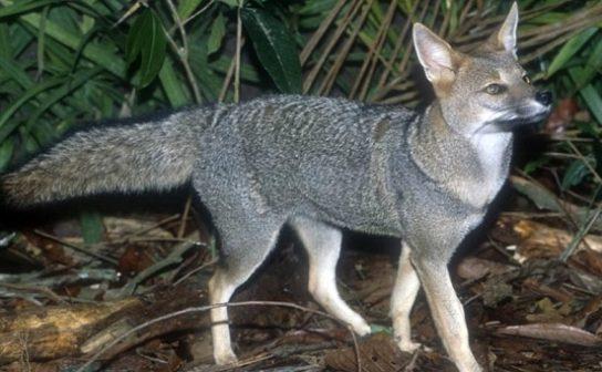 Бразильская лисица - фотография