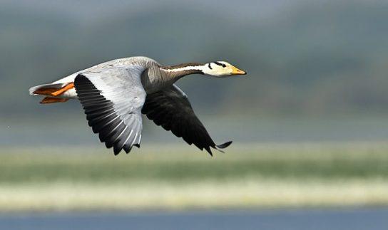 фото горного гуся