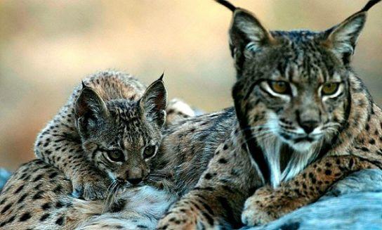 День рыси: 10 фактов о самой большой кошке Европы - Вокруг Света | 327x544