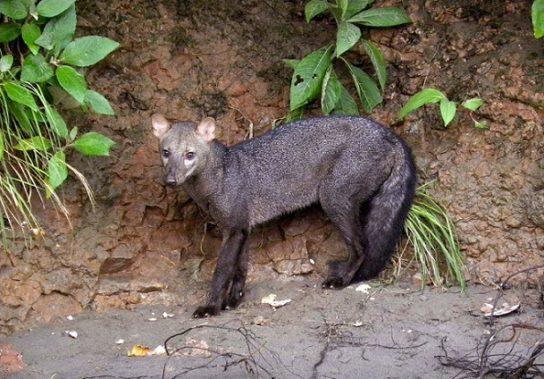 Короткоухая лиса - фотография