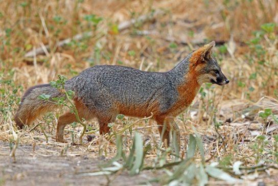 Лисица островная - фотография