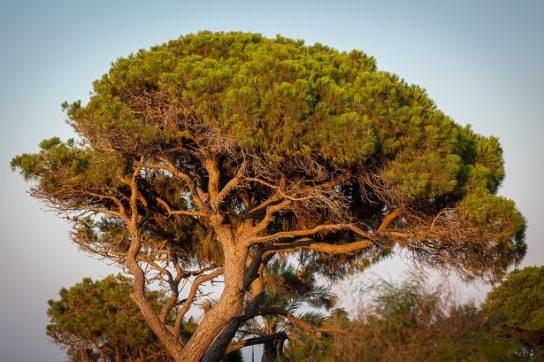 Средиземноморская сосна
