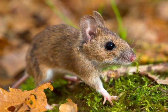 чем питаются мыши - фото 7