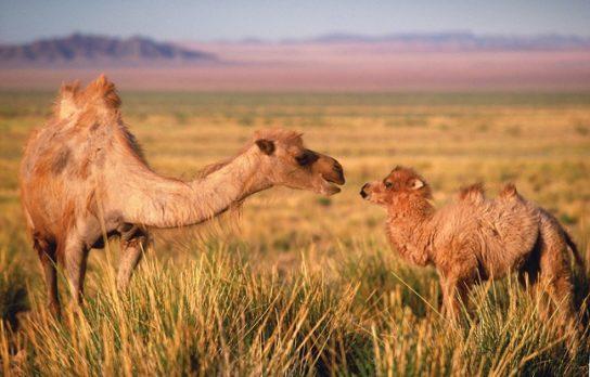 зачем верблюду горб - фото 5