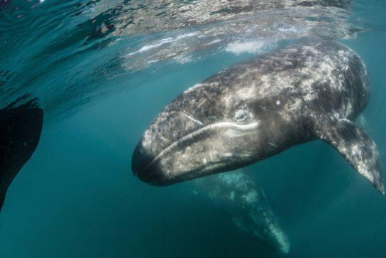 серый кит - описание
