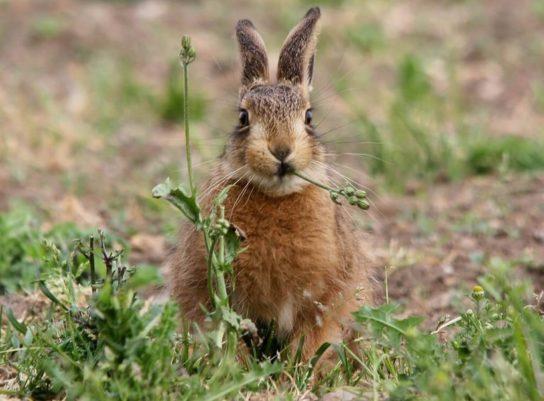 питание зайцеобразных