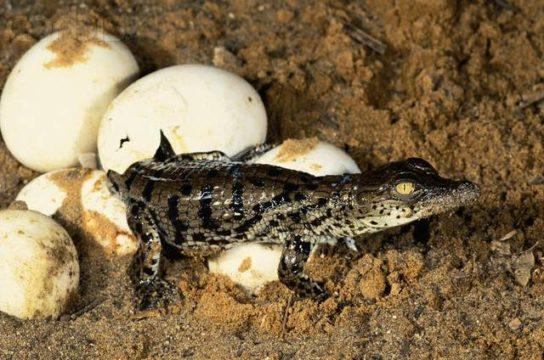 Детеныш нильского крокодила