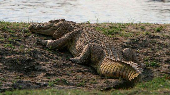 где живет нильский крокодил
