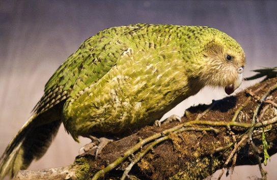 kakapo-544x354.jpg