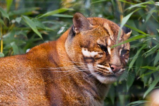кошка темминка - фотография
