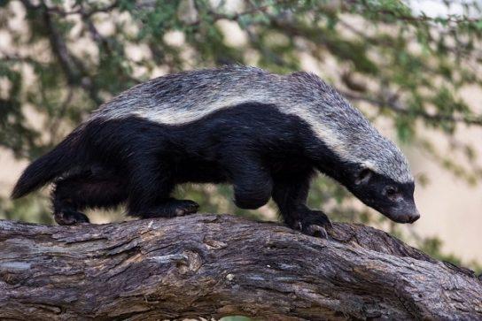 Зверёк соболь- где обитает соболь, описание его внешности, размножение и питание животного