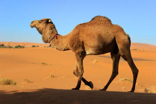 зачем верблюду горб - фото 3
