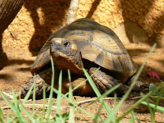 Средиземноморская черепаха - фото