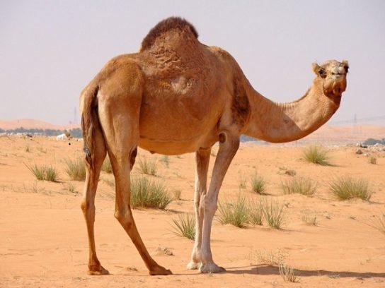 зачем верблюду горб - фото 2