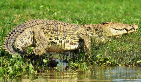 внешний вид нильского крокодила
