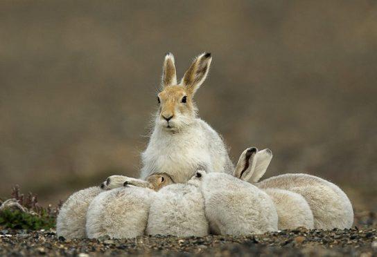 размножение зайцев