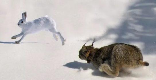 зайцеобразные и хищники