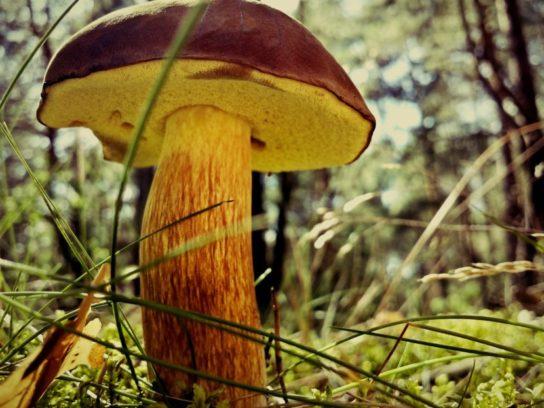 гриб моховик