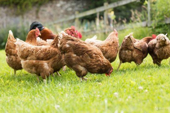 что едят курицы