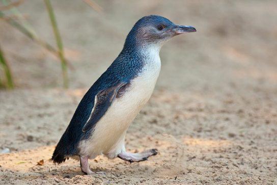 belokryliy-pingvin-544x363.jpg