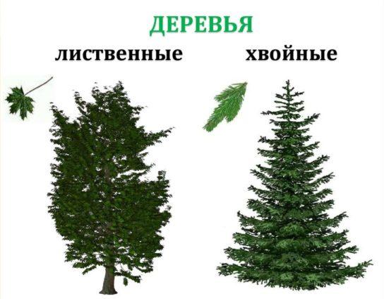 Чем отличаются хвойные деревья от лиственных