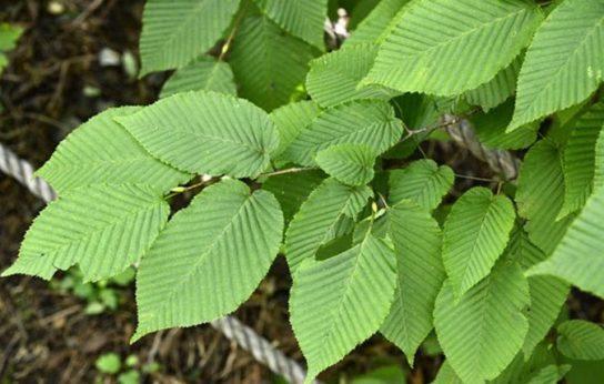 Дерево граб - фото 1