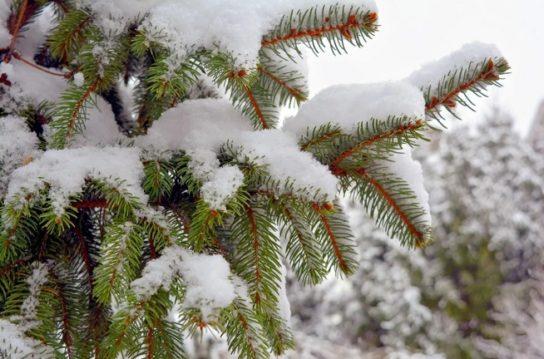Почему хвойные деревья не замерзают зимой