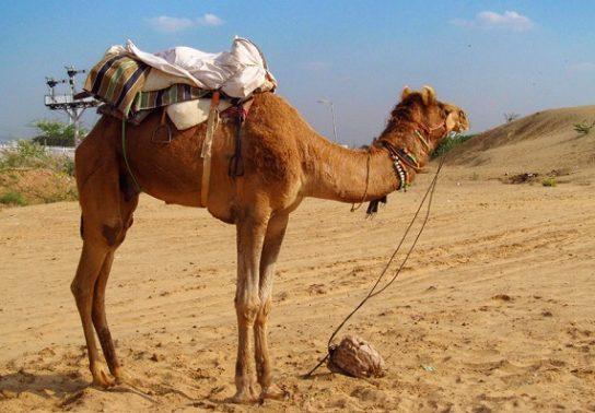 зачем верблюду горб - фото 1