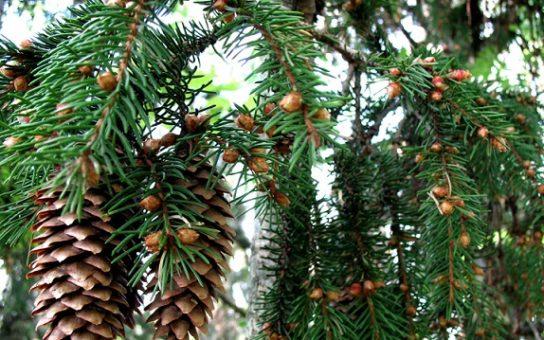 Признаки хвойных деревьев