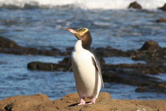 zheltoglaziy-pingvin-544x363.jpg