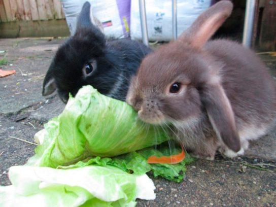 чем питаются кролики