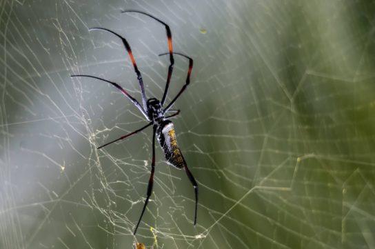 Гигантский древесный паук