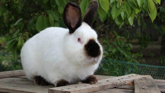 фото калифорнийского кролика