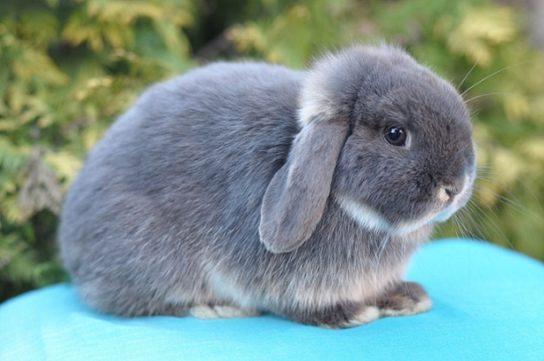 Кролик голландский миниатюрный